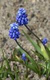 Flores do Muscari na flor fotos de stock royalty free