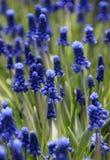 Flores do Muscari na flor imagens de stock