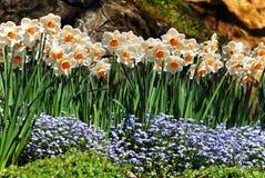 Flores do narciso   Imagens de Stock