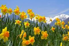 Flores do narciso. fotos de stock royalty free
