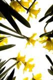 Flores do narciso Fotografia de Stock Royalty Free