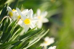 Flores do narciso Fotos de Stock Royalty Free