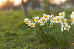 Flores do narciso foto de stock