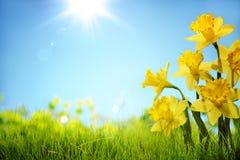 Flores do narciso amarelo no campo Imagem de Stock