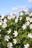 Flores do nemorosa do Anemone imagens de stock