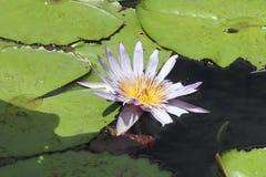 flores do Nymphaea nenuphar com o flutuador da flor de lótus das folhas imagens de stock