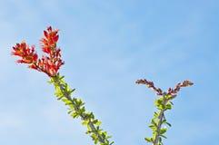 Flores do Ocotillo em Tucson, o Arizona fotos de stock royalty free