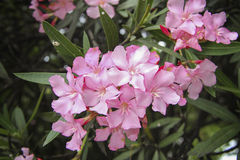 Flores do oleandro Imagem de Stock