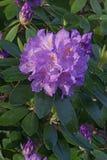 Flores do oleandro do Catawba Fotos de Stock