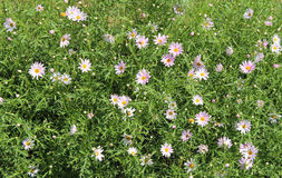 Flores do ornamental do jardim Imagens de Stock