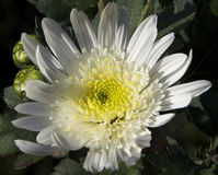 Flores do outono Fotos de Stock