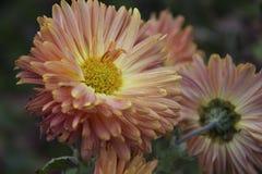 Flores do outono Foto de Stock Royalty Free