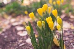 Flores do outono - açafrões amarelos selvagens Imagem de Stock Royalty Free
