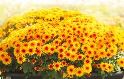 Flores do outono no potenciômetro Fotografia de Stock