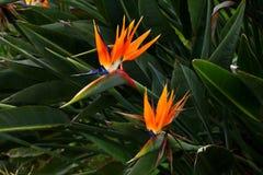 Flores do pássaro de Paradise fotos de stock royalty free