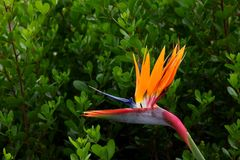 Flores do pássaro de Paradise fotos de stock