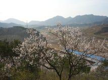 Flores do pêssego Foto de Stock Royalty Free