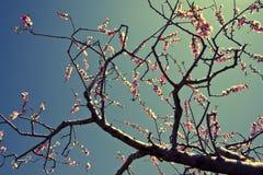 Flores do pêssego Imagens de Stock Royalty Free