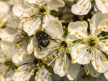 Flores do pêssego em um fim do ramo acima Fotografia de Stock Royalty Free