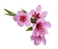 Flores do pêssego isoladas ilustração stock