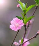Flores do pêssego no jardim Imagens de Stock