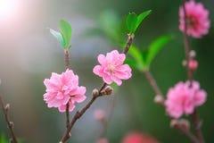 Flores do pêssego no jardim Imagens de Stock Royalty Free