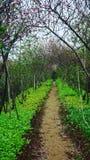Flores do pêssego no jardim da mola Fotografia de Stock