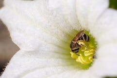 Flores do pólen da abelha Imagens de Stock Royalty Free