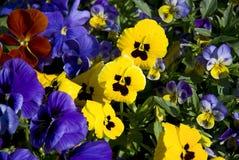 Flores do Pansy Fotografia de Stock Royalty Free