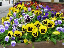 Flores do Pansy foto de stock royalty free