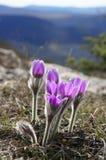 Flores do pasqueflower contra montanhas fotografia de stock royalty free
