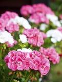 Flores do Pelargonium Fotografia de Stock