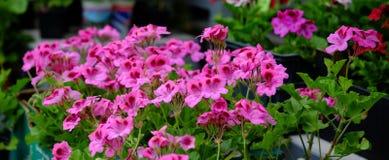 Flores do Pelargonium no mercado da flor Fotos de Stock