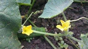 Flores do pepino Fotos de Stock Royalty Free