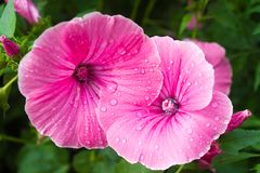 Flores do petúnia Fotos de Stock
