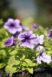 Flores do petúnia Foto de Stock