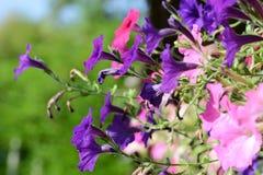 Flores do petúnia Imagens de Stock