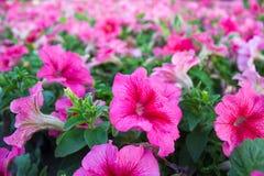 Flores do petúnia Fotos de Stock Royalty Free