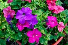 Flores do petúnia Imagem de Stock Royalty Free