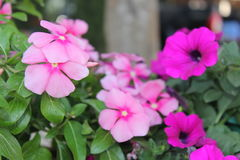 Flores do petúnia Imagem de Stock