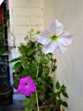 Flores do petúnia fotografia de stock royalty free