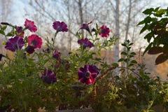Flores do petúnia na luz do alvorecer Jardim pequeno no balcão em outubro foto de stock royalty free