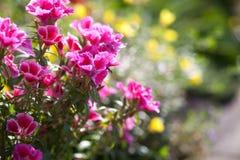 Flores do petúnia no jardim Fotografia de Stock