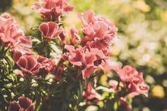 Flores do petúnia no jardim Imagem tonificada Fotos de Stock