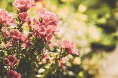 Flores do petúnia no jardim Imagem tonificada Fotografia de Stock Royalty Free