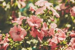 Flores do petúnia no jardim Imagem tonificada Imagem de Stock