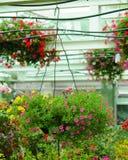 Flores do petúnia no potenciômetro de flor de suspensão Imagem de Stock Royalty Free