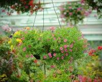 Flores do petúnia no potenciômetro de flor de suspensão Imagens de Stock Royalty Free
