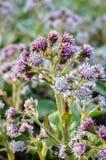 Flores do Petasites Imagem de Stock