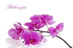 Flores do Phalaenopsis foto de stock royalty free